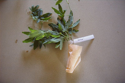 The tissue is rolled tightly around the ends of the cuttings.