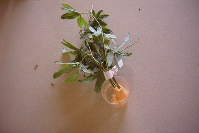 The tissue end of the cuttings placed in some fresh water so as to make the tissue wet.